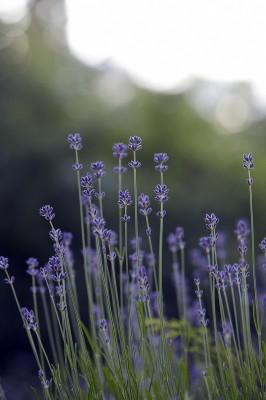 blommor, lavendel