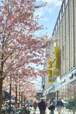 Västerås Körsbärsträd